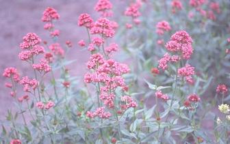 Spoorbloem 'Centranthus'