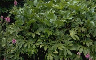Vingerplant 'Fatsia'