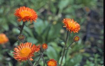 Borderplanten oranje