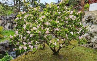 Beverboom 'Magnolia'