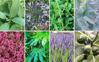Borderpakketten - Mediterrane tuinplanten