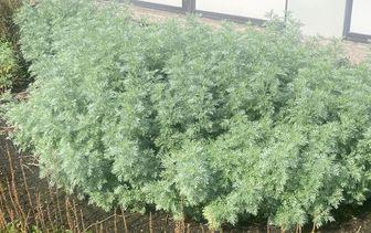 Alsem 'Artemisia'