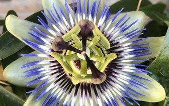 Passiebloem 'Passiflora'