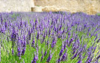 Lavendel 'Lavandula'