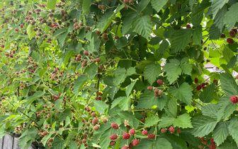 Braam 'Rubus'