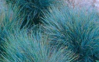 Blauwe schapengras 'Festuca'