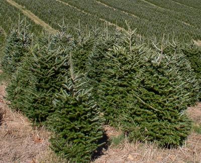 Echte kerstboom - Zilverspar - Abies Fraseri