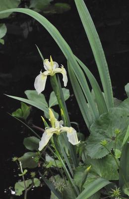Gele lis - Iris pseudoacorus