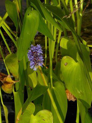 Moerashyacint 'Pontederia cordata'