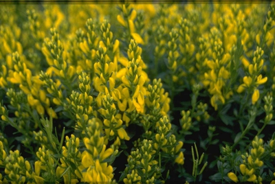 Heidebrem - Genista pulchella