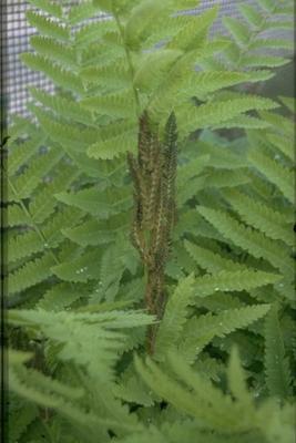 Koningsvaren - Osmunda claytoniana