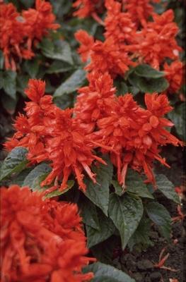 Salie - Salvia splendens