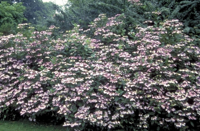 Hortensia (scherm) - Hydrangea macrophylla 'Lilacina'