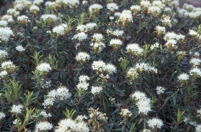 Ridderspoor - Delphinium 'Lamartine'