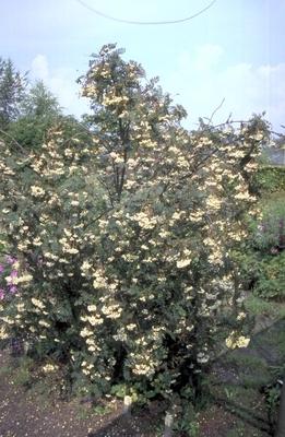 Lijsterbes Sorbus koehneana