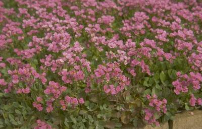 Rijstebrij - Arabis caucasica 'Hedi'