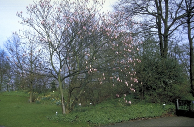 Beverboom - Magnolia 'Heaven Scent'