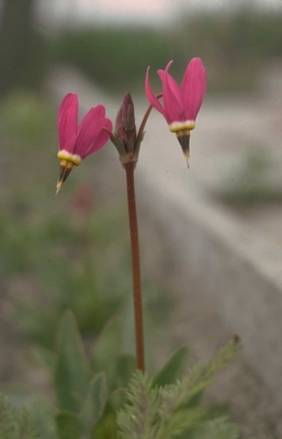Twaalfgodenkruid - Dodecatheon pulchellum 'Red Wings'