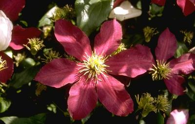 Ooievaarsbek - Geranium renardii 'Tcschelda'