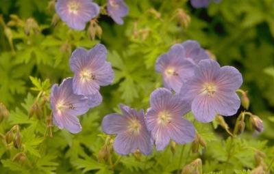 Ooievaarsbek - Geranium himalayense 'Gravetye'