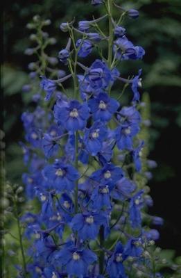 Ridderspoor - Delphinium 'Piccolo'