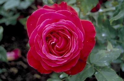 Grootbloemige roos - Rosa 'Alec's Red'