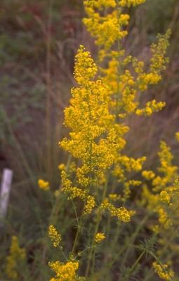 Geel walstro 'Galium verum'
