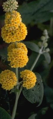 Vlinderstruik - Buddleja x weyeriana 'Sungold'