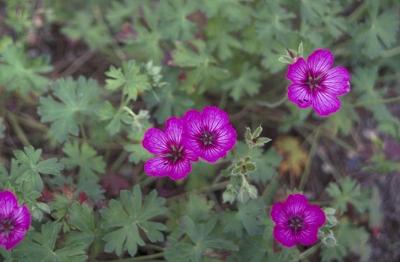 Ooievaarsbek - Geranium cinereum 'Carol'