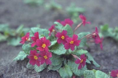 Sleutelbloem - Primula 'Wanda'