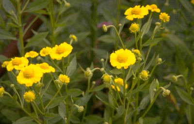 Zonnekruid - Helenium 'Sonnenwunder'