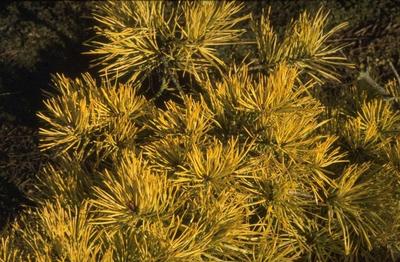 Grove den - Pinus sylvestris 'Aurea'