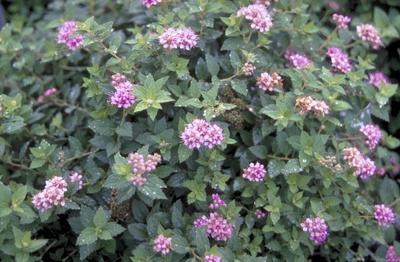 Spierstruik - Spiraea japonica 'Nana'