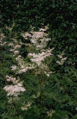 Spierstruik - Filipendula purpurea 'Elegans'
