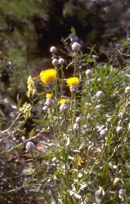 Korenbloem - Centaurea glastifolia