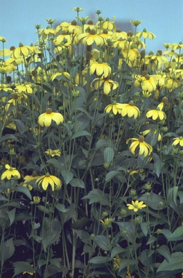 Rudbeckia - Rudbeckia nitida 'Herbstsonne'