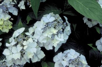 Hortensia - Hydrangea serrata 'Bluedeckle'