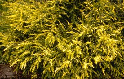 Chinese kamperfoelie - Lonicera nitida 'Baggesen's Gold'