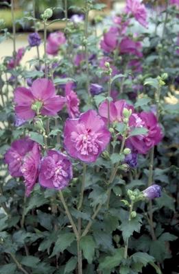 Heemstroos - Hibiscus syriacus 'Purple Ruffles'