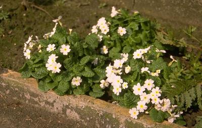 Sleutelbloem - Primula 'Schneekissen'
