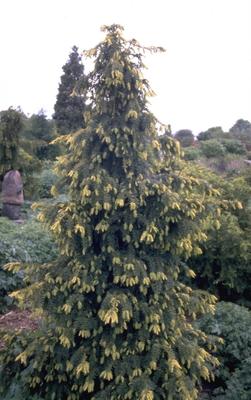 Taxus - Taxus baccata 'Dovastonii Aurea'