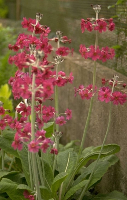 Sleutelbloem - Primula pulverulenta