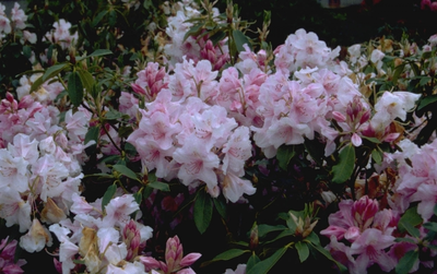 Rododendron - Rhododendron 'Pink Pearl'