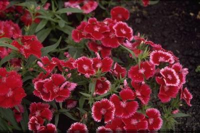 Chinese Anjer - Dianthus chinensis 'Carmine Rose Margin'