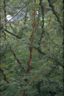 Botanische roos - Rosa sericea f. pteracantha