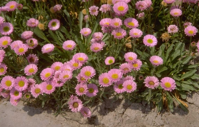 Fijnstraal - Erigeron 'Four Winds'