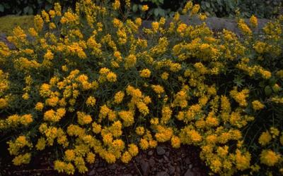 Verfbrem - Genista tinctoria 'Flore Pleno'