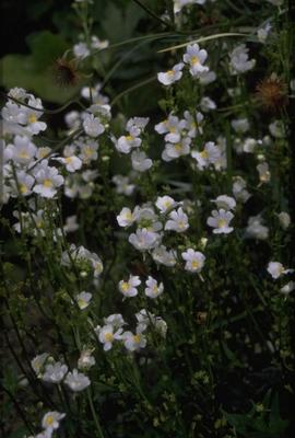 Nemesia - Nemesia caerulea 'Innocence'