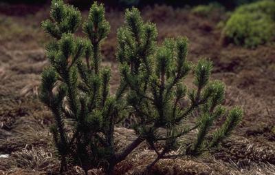 Kustden - Pinus contorta 'Spaan's Dwarf'