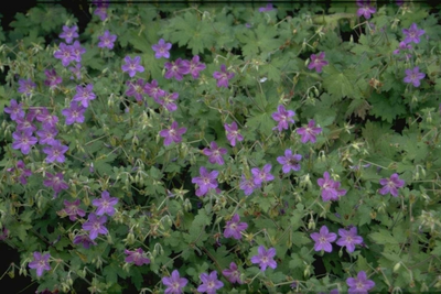 Ooievaarsbek - Geranium wlassovianum